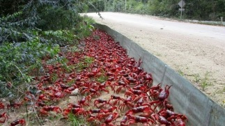 Red Crab Migration (2)