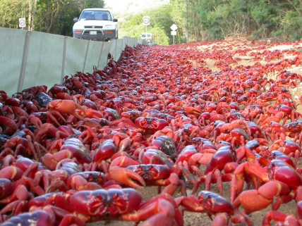 Red Crab Migration (4)