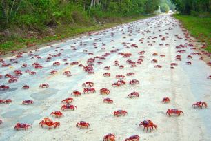 Red Crab Migration (5)