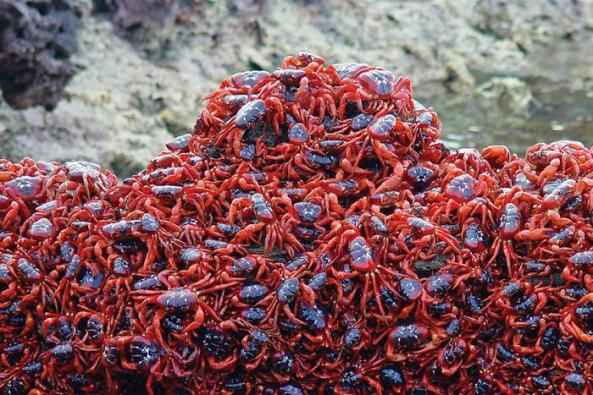 Red Crab Migration (7)
