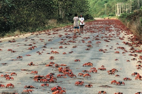 Red Crab Migration (8)