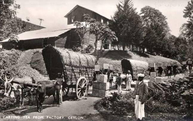 Bullock carts transport Tea from factory, Ceylon 1890's