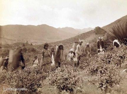 eylon Tea Pluckers Early 1900