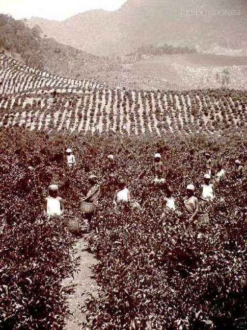 Tea Pluckers in Ceylon 1800-1890