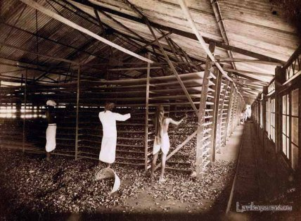 Withering the plucked Tea leaves - Ceylon
