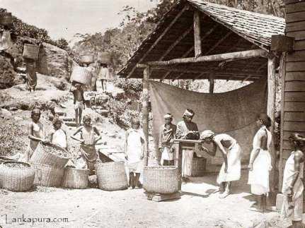 Weighing fresh Ceylon Tea Leaf, Ceylon
