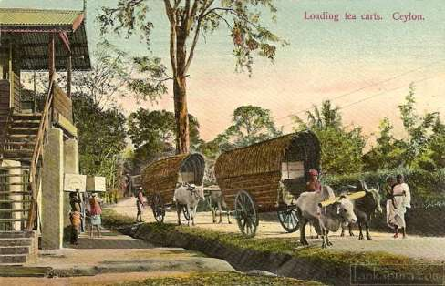 Loading produced Tea in to Double Bullock Carts for shipping, Ceylon 1911