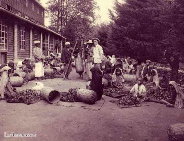 oolies Sorting Tea Leaves - Tea estate, Ceylon