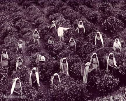 Tea Pluckers in Sri Lanka early 1900s