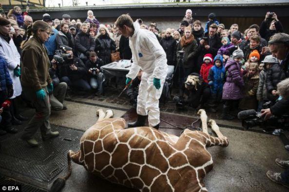 Marius giraffe killed at denmark zoo (3)