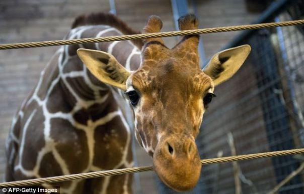 Marius giraffe killed at denmark zoo (4)