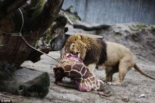 Marius giraffe killed at denmark zoo (5)